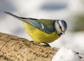 Blue tit a bird in the wild Royalty Free Stock Images