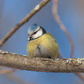 Blue tit on branch portrait of a close up Royalty Free Stock Photography