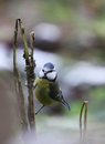 Blue tit on a branch is sitting Stock Photo