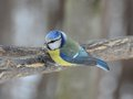 Blue tit on a branch watching other birds parus caeruleus waits for its turn to birdfeeder in suburban forest Stock Images