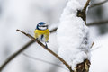 Blue tit on a branch in winter forest Stock Photos