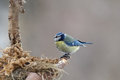 Blue tit builder building its nest Stock Photos
