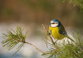 Blue tit buntings emberiza citrinella Royalty Free Stock Images