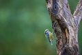 Blue tit climbing in tree Royalty Free Stock Image