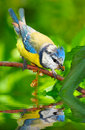 The Blue Tit (Cyanistes caeruleus). Royalty Free Stock Photography