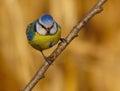 Blue Tit, Cyanistes caeruleus, Cinciarella Royalty Free Stock Photo