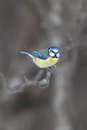 Blue tit cyanistes caeruleus sitting on a branch during winter and light snowfall Stock Images