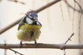 Blue tit cyanistes caeruleus standing on a branch Royalty Free Stock Photo