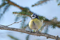Blue tit defying the wind puffy on a branch Royalty Free Stock Photos