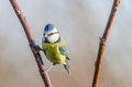 Blue tit a enjoying autumn Royalty Free Stock Images