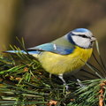 Blue tit on a fir tree branch Stock Photo