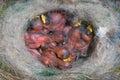 Modrý sýkorka na hniezdo