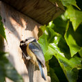 Blue tit  by a nesting box Stock Photos