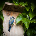 Blue tit  by a nesting box Royalty Free Stock Images