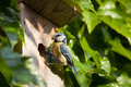Blue tit  by a nesting box Stock Photo