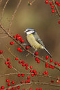 Blue tit parus caeruleus on berries midlands winter Stock Photos