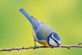 Blue tit parus caeruleus on a branch shallow depth of field and bakground blurred Royalty Free Stock Photo