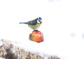 Blue tit parus caeruleus single bird on apple in snow warwickshire january Stock Photo