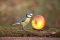 Blue tit parus caeruleus single bird on apple warwickshire january Stock Images
