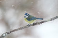 Blue tit parus caeruleus single bird on branch in snow warwickshire january Royalty Free Stock Photography