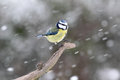 Blue tit parus caeruleus single bird on branch in snow warwickshire january Stock Images