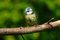 A blue tit perched on a branch Stock Photo