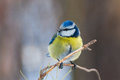 Blue tit perched on twig of pine closeup eurasian parus caeruleus a sprig in winter forest near kiev Stock Photography