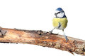 Blue tit perching Stock Photography