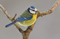 Blue tit photo of standing on the branch Stock Image