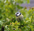 Blue Tit in Rain Stock Images