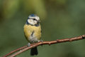 Blue tit sitting on an brench Stock Image
