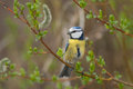 Blue tit in spring on a branch with catkins Royalty Free Stock Photo