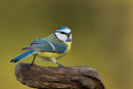 Blue tit standing on a stone Royalty Free Stock Image