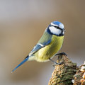 Blue tit on stub top of the european was first described by linnaeus in his systema naturae in as parus caeruleus it is a Royalty Free Stock Photos