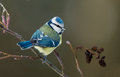 Blue tit on a  twig Royalty Free Stock Photo