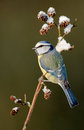 Blue tit on a winter twig Royalty Free Stock Photos