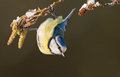 Blue tit on a winter twig Royalty Free Stock Images