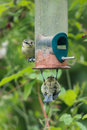 Blue tits on bird feeder cyanistes caeruleus in uk garden Royalty Free Stock Photo