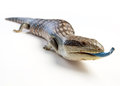 Blue tongued lizard a tongue poking its tongue out on a white background Royalty Free Stock Images