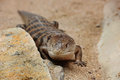 Blue tongued skink basking on the sandy background Stock Image