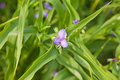 Blue Tradescantia flower Stock Images