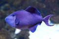 Blue Triggerfish (Pseudobalistes fuscus) Royalty Free Stock Photo