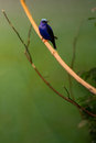 iridescent blue tropical bird Royalty Free Stock Photo