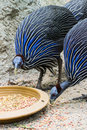 Blue turkey eating photo form thai Royalty Free Stock Photo