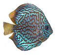 Blue turquoise discus Royalty Free Stock Photography