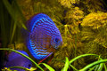 Blue Turquoise Discus Fish Royalty Free Stock Photo
