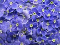 Blue veronica flowers Royalty Free Stock Photography