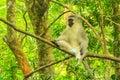 Blue Vervet Monkey