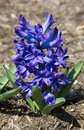 Blue violet hyacinth at the beginning of spring growing Stock Photos