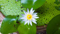 Blue water lily flower in bloom, White Lotus Royalty Free Stock Photo